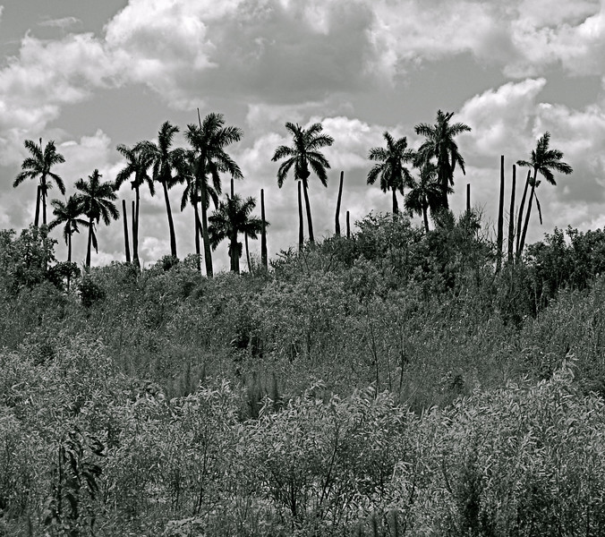 Palm Trees - Lake Okeechobee, Florida