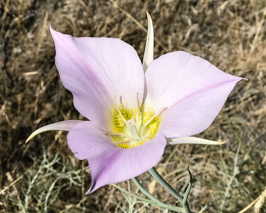 The Boise foothills are still blooming. I enjoy and admire people that invest time and energy in flower gardens but sadly wildflowers equal or surpass the best of our efforts for free.