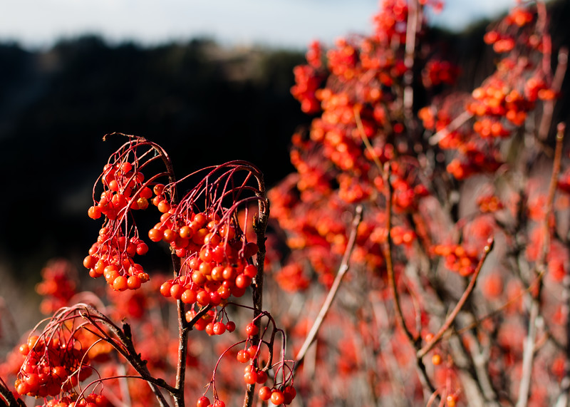 Bogus Basin bokeh berries.