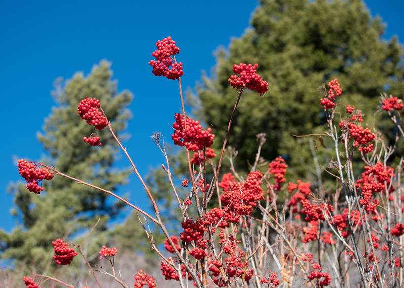 We went for a little hike in the mountains above Boise yesterday. It was a glorious crisp day and the slopes were festooned with red berries: my favorite autumn color.