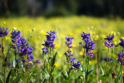 On every visit to Bogus Basin trails different flowers are blooming.