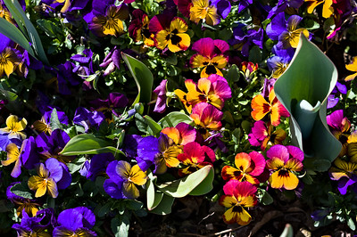 Flower gardening is a Mormon strongpoint. Their temples and churches are often surrounded by lush flower beds.