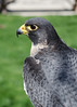 "Peregrine profile. The World Center for Birds of Prey was instrumental in bringing peregrine falcons back from near extinction. Peregrines are what my friend Bob used to call ""charismatic megafauna."" Only the most depraved and vile of human beings would not miss these majestic birds. Sadly, the same cannot be said for the ""uncharismatic microfauna."" The Earth is going through a human induced mass extinction event. In a few short centuries, we have driven thousands of plants and animals to extinction. The damage is already irreversible. Welcome to the Anthropocene; it's only going to get worse!"