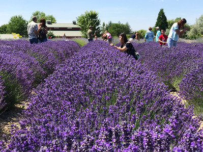 Luscious linear lavender looming.