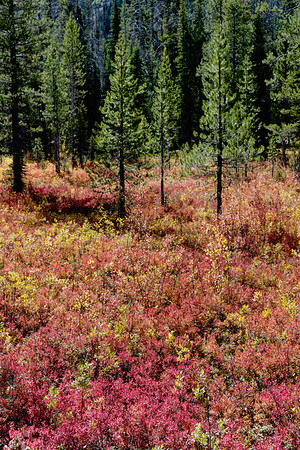 The autumn colors of pine forests do not match deciduous forests but they still have their charms.
