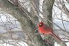 2013 03 350a IMG_6865 Cardinal tele