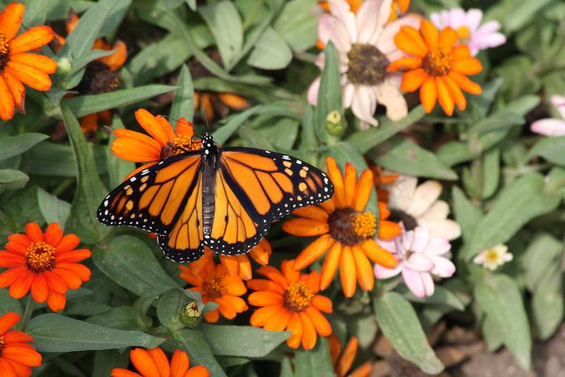 2011 09 019 IMG_3061 Monarch tele