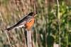 2012 04 100 IMG_6647 American Robin tele-X