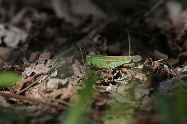 Northern Green-striped Grasshopper at Lake of the Woods park, a Champaign County Forest Preserve District site.