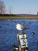Gulls, ducks and geese ignoring city bylaws.