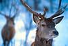 Deer in a Quebec wild animal park near Ottawa.