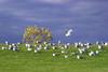 Sea gulls on a grassy hill.