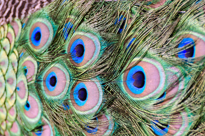Peacock tail Saint Louis Zoo.