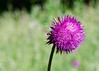 Thistle bloom: weed or wonder?