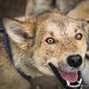 Husky post run at Sun Dog Kennel