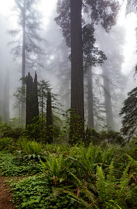 Fog in the Redwoods