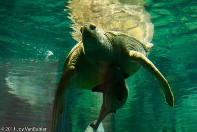 Turtle at Shedd Aquarium