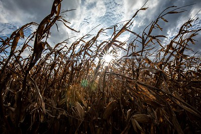 Sun in the corn