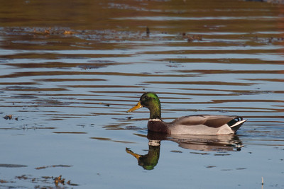 Mallard Duck in Kensington Metropark