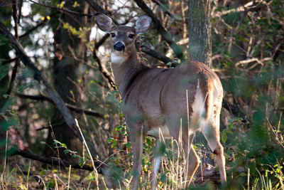 Deer in Kensington Metropark