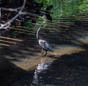 "A Great Blue Heron, standing ""knee-deep"" in a stream, in Warwick.  ©2019 Henry S. Winokur"