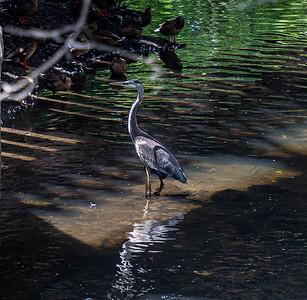 "A Great Blue Heron, standing ""knee-deep"" in a stream, in Warwick.  ©2019 Henry S. Winokur"