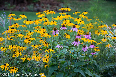 Black Eyed Susans?