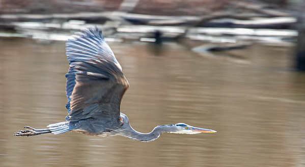 At Huntley Meadows in Alexandria, a Great Blue Heron, in flight.  March 9th, 2021  ©2021 Henry S. Winokur