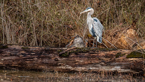 """On a different day, another visit to Huntley Meadows in Alexandria, a Great Blue Heron just """"standing around"""".  January 27, 2021  ©2021 Henry S. Winokur"""