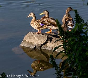 Duck, Duck...no goose