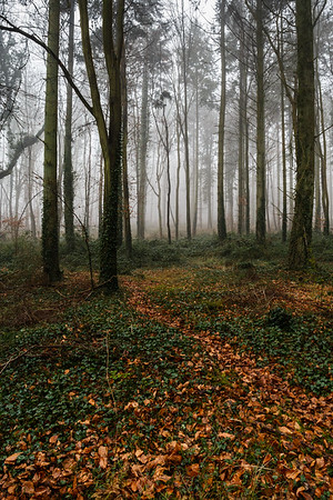Kingley Vale, Ancient Forest