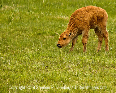 Bison Calf 3 JPG 20110617_Yellowstone - June 2011_6646