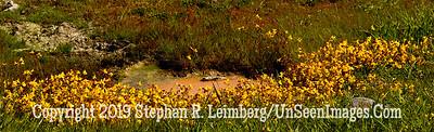 Yellow Monkeypod flowers around hot spring 20110618_Yellowstone - June 2011_7007