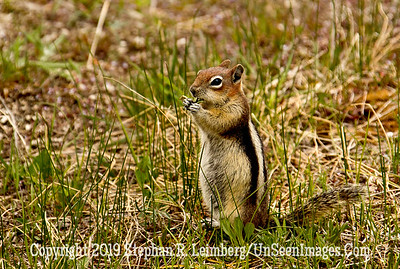 Ground Squirill jpg 20110617_Yellowstone - June 2011_6580
