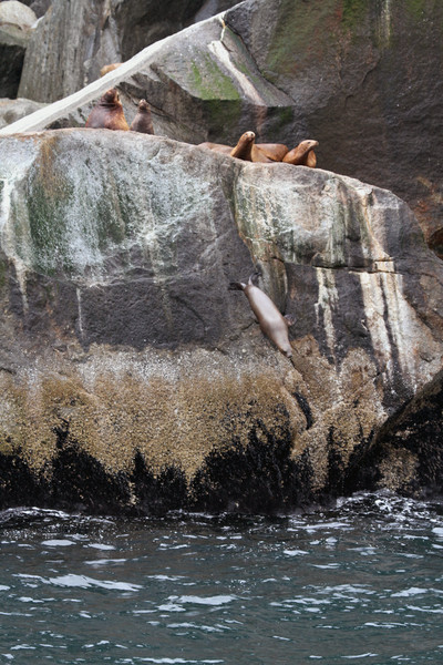 Steller Sea Lion takes a plunge into the waters of Kenai Fjords National Park.