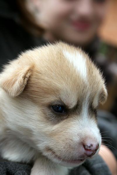 Sled dog puppy. Alaska Native Heritage Center.