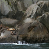 Steller Sea Lions on rocks - Kenai Fjords National Park.