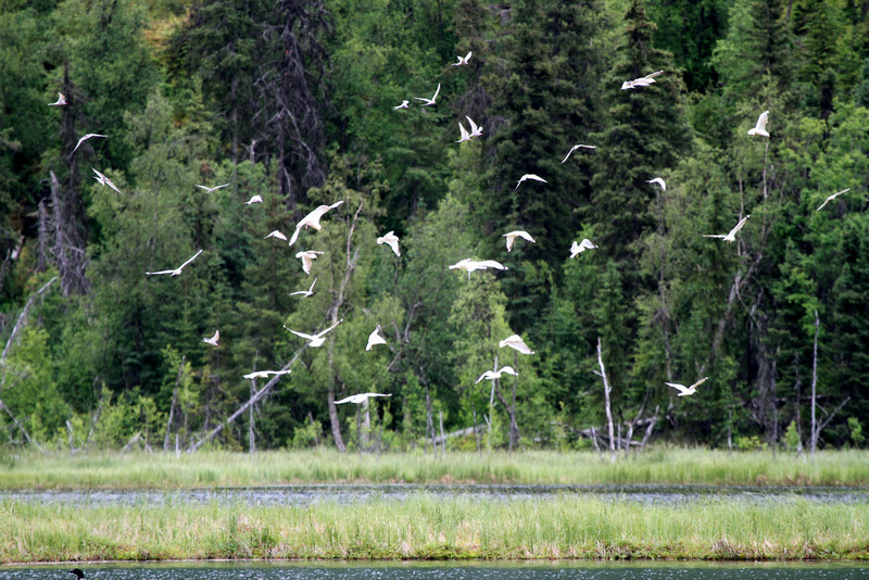 A flock of gulls off the Seward Highway