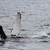 Humpback whale - Kenai Fjords National Park