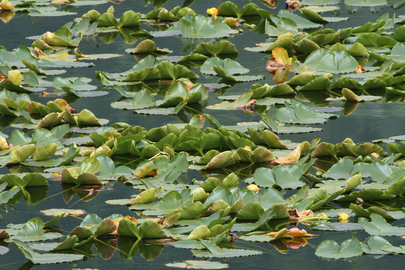 Lily pad close-up on the Seward Highway