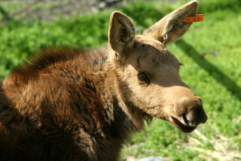 Moose calf at the Wildlife Conservation Center.