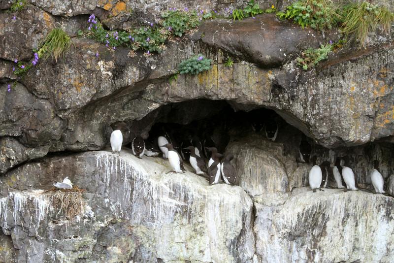 Murres nesting -Kenai Fjords National Park