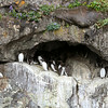 Murres nesting -Kenai Fjords National Park