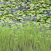 Marsh grass and lily pads - Seward Highway.