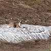 Caribou on ice patch - Denali National Park