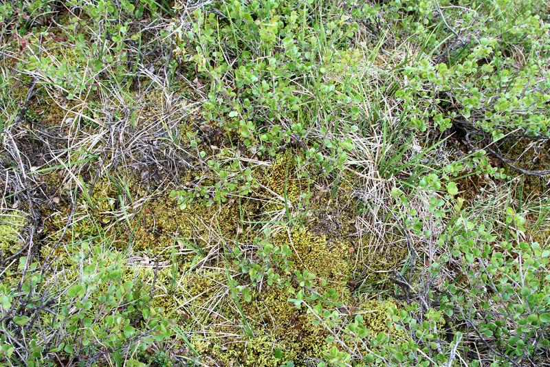 A closeup of Denali's spongy tundra.