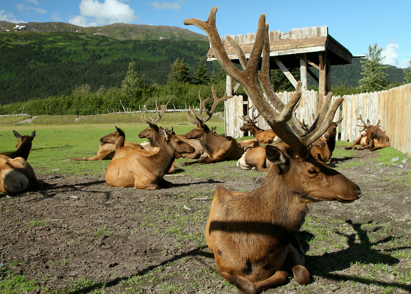 Caribou at the Alaska Wildlife Conservation Center.