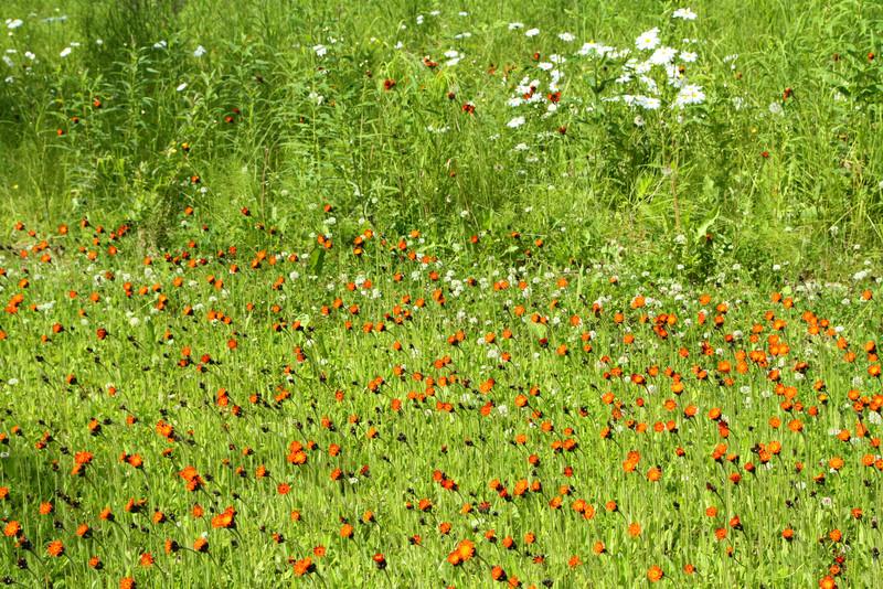Wild flowers in Talkeetna's cemetery.