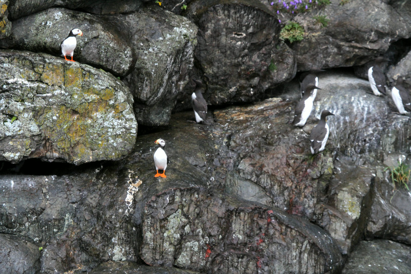 Puffins and Murres - Kenai Fjords National Park