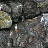 Puffins and Murres - Kenai Fjords National Park